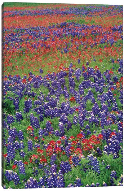 Sand Bluebonnet And Paintbrush Flowers, Hill Country, Texas III Canvas Art Print