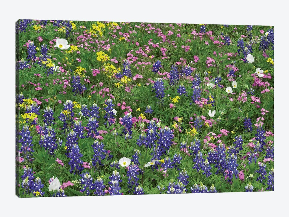 Sand Bluebonnet, Pointed Phlox, And Squaw-Weed, White Prickly Poppy by Tim Fitzharris 1-piece Canvas Art Print
