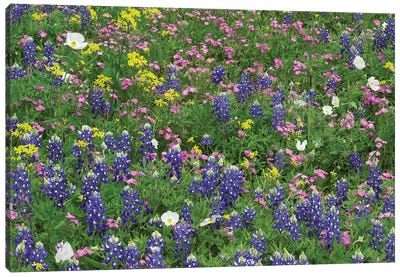 Sand Bluebonnet, Pointed Phlox, And Squaw-Weed, White Prickly Poppy Canvas Art Print