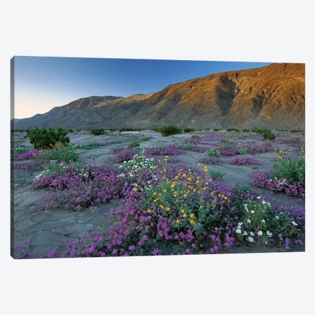 Sand Verbena And Desert Sunflowers, Anza-Borrego Desert State Park, California Canvas Print #TFI956} by Tim Fitzharris Canvas Print