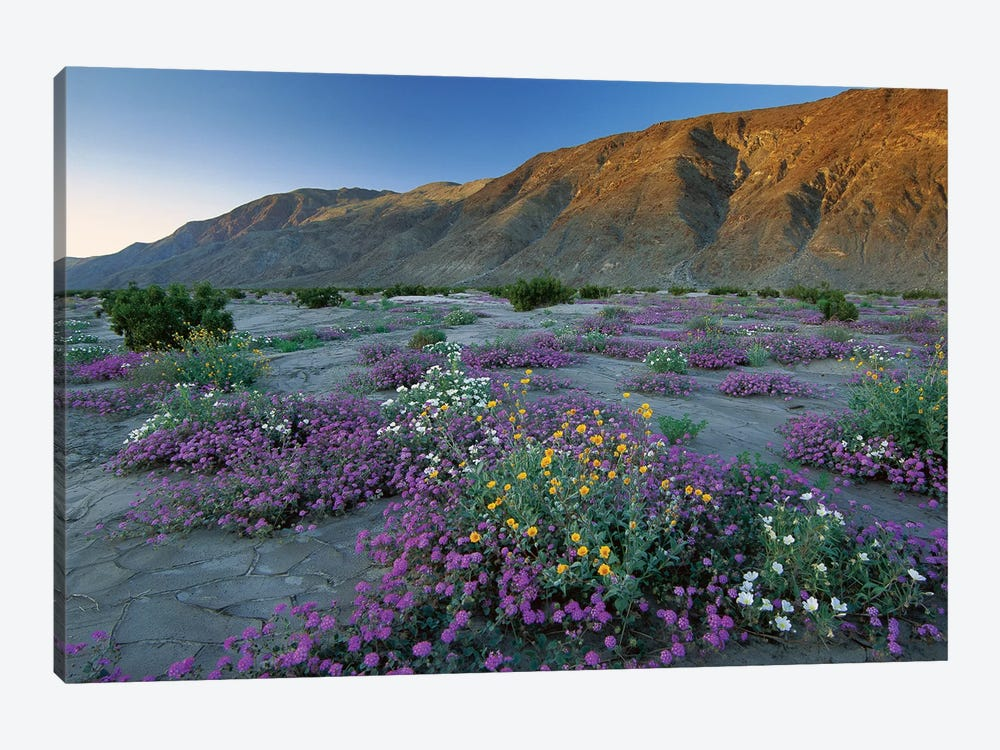Sand Verbena And Desert Sunflowers, Anza-Borrego Desert State Park, California by Tim Fitzharris 1-piece Canvas Print