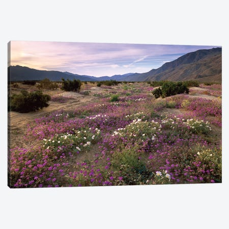 Sand Verbena And Primrose Blooming, Anza-Borrego Desert State Park, California Canvas Print #TFI957} by Tim Fitzharris Canvas Art Print
