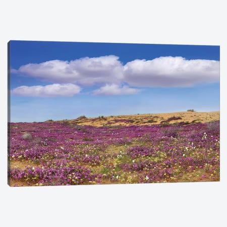 Sand Verbena Carpeting The Ground, Imperial Sand Dunes, California Canvas Print #TFI958} by Tim Fitzharris Canvas Artwork