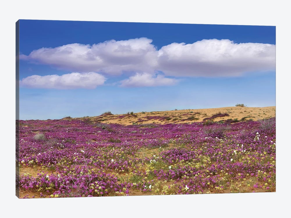 Sand Verbena Carpeting The Ground, Imperial Sand Dunes, California 1-piece Canvas Art Print