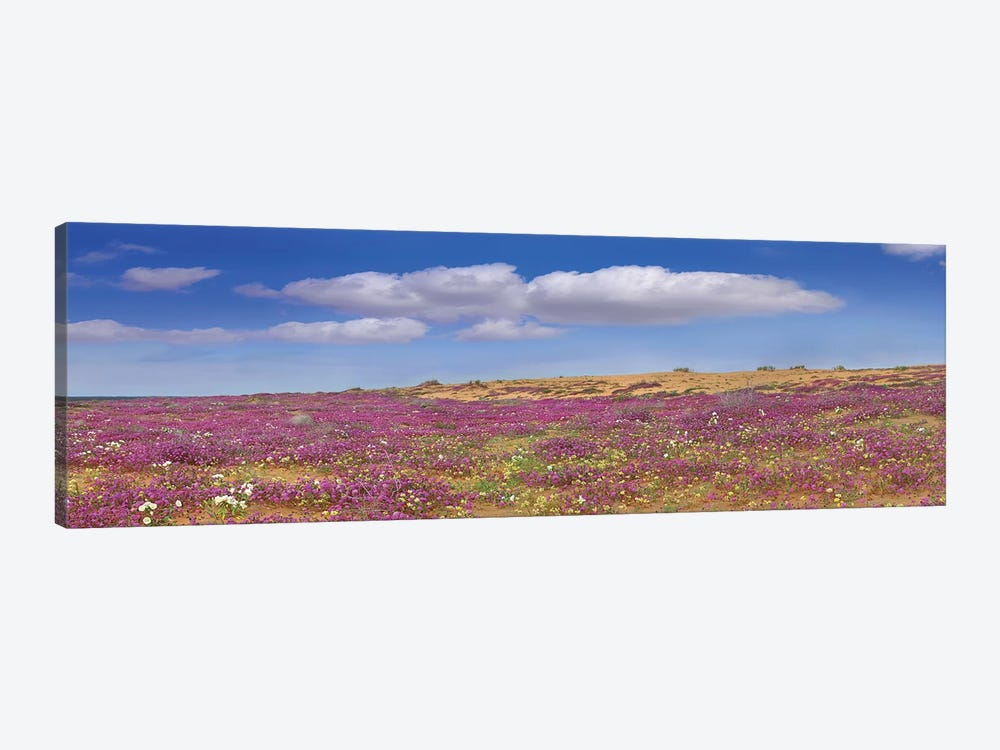 Sand Verbena Carpeting The Imperial Sand Dunes, California by Tim Fitzharris 1-piece Canvas Wall Art