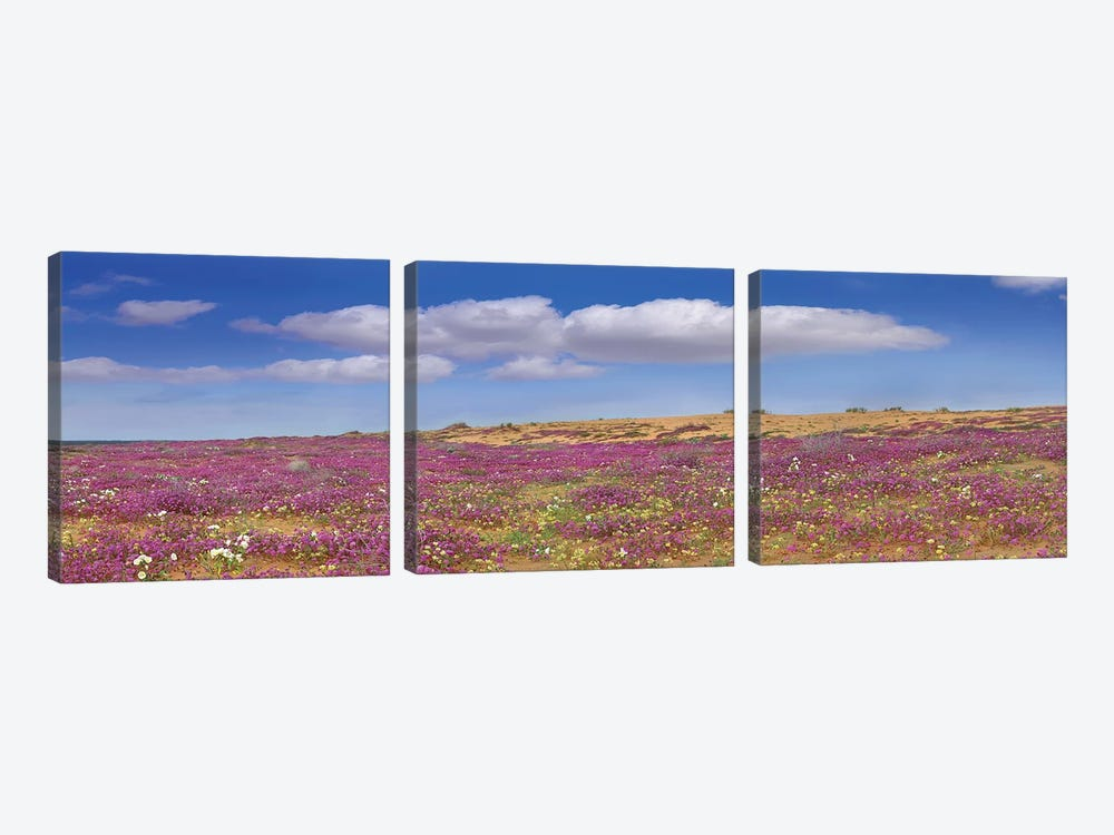 Sand Verbena Carpeting The Imperial Sand Dunes, California by Tim Fitzharris 3-piece Canvas Wall Art