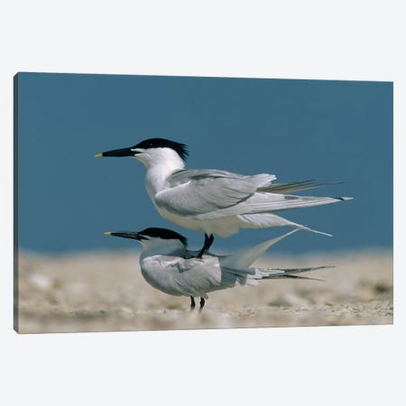 Sandwich Tern Couple Courting, North America Canvas Print #TFI968} by Tim Fitzharris Art Print