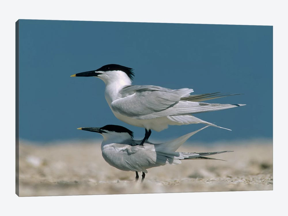Sandwich Tern Couple Courting, North America by Tim Fitzharris 1-piece Canvas Wall Art