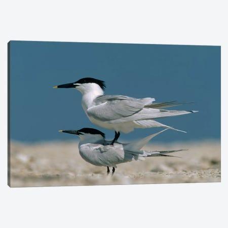Sandwich Tern Couple Courting, North America 3-Piece Canvas #TFI968} by Tim Fitzharris Art Print
