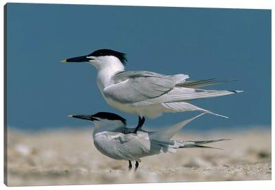 Sandwich Tern Couple Courting, North America Canvas Art Print