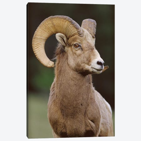Bighorn Sheep Male, Banff National Park, Alberta, Canada Canvas Print #TFI96} by Tim Fitzharris Canvas Wall Art
