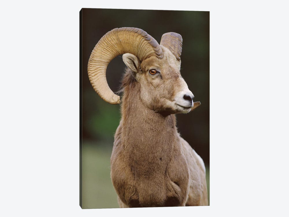 Bighorn Sheep Male, Banff National Park, Alberta, Canada by Tim Fitzharris 1-piece Canvas Art Print