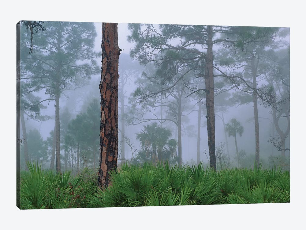 Saw Palmetto And Pine In Fog, Near Estero River, Florida Trees by Tim Fitzharris 1-piece Canvas Art