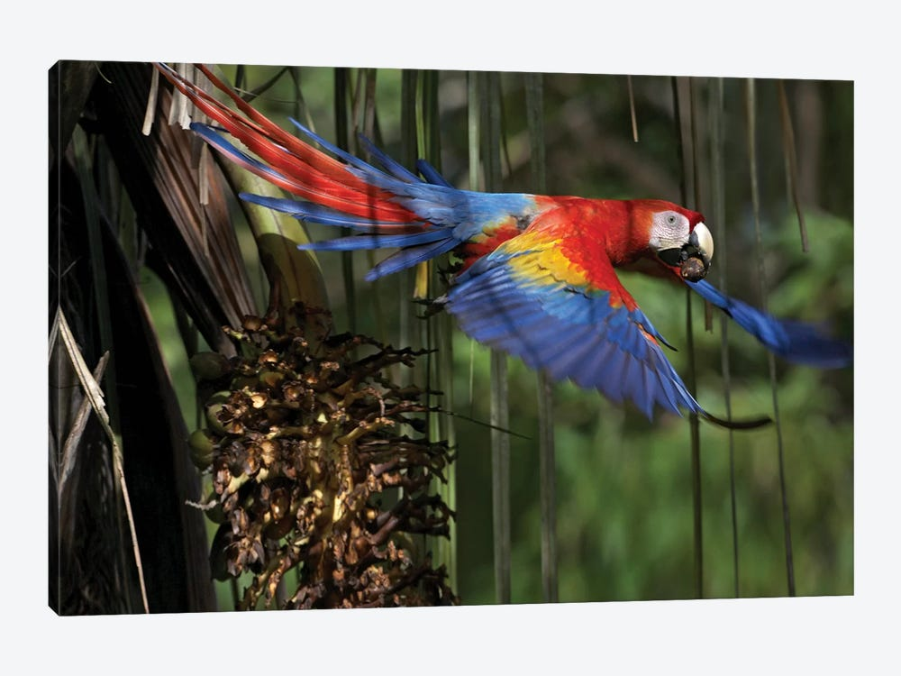 Scarlet Macaw Flying With Palm Nut, Costa Rica by Tim Fitzharris 1-piece Canvas Art