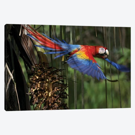 Scarlet Macaw Flying With Palm Nut, Costa Rica Canvas Print #TFI975} by Tim Fitzharris Canvas Art Print