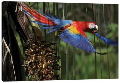 Scarlet Macaw Flying With Palm Nut, Costa Rica Canvas Art Print