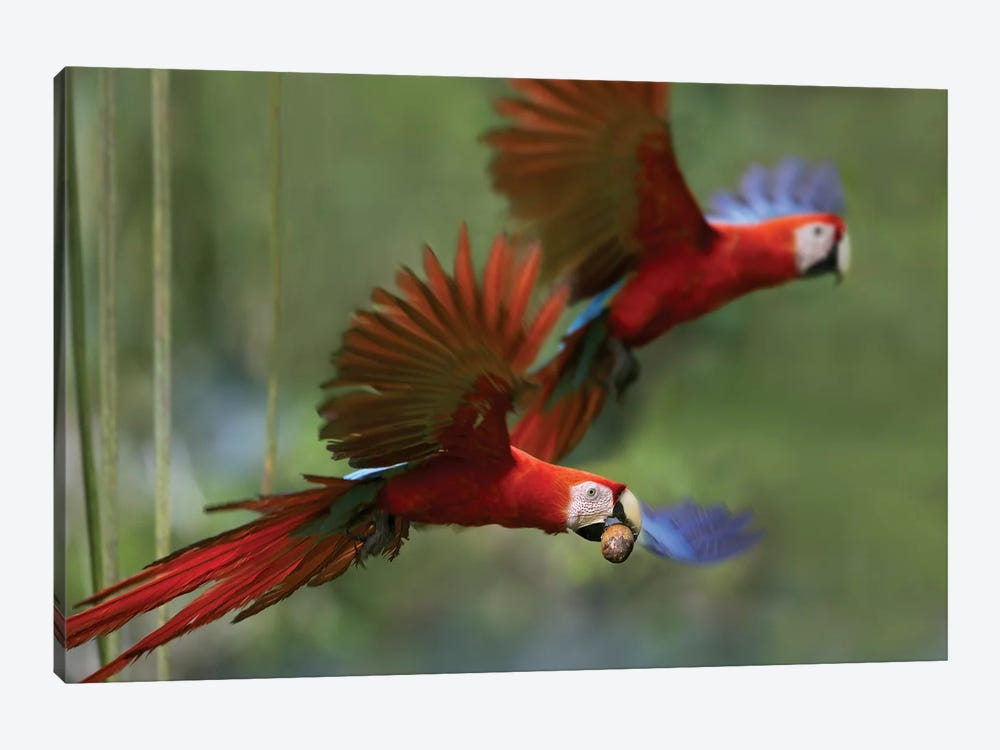 Scarlet Macaw Pair Flying With Palm Fruit, Costa Rica by Tim Fitzharris 1-piece Canvas Print