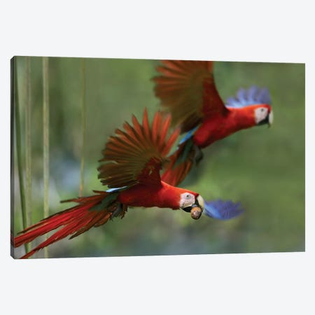 Scarlet Macaw Pair Flying With Palm Fruit, Costa Rica Canvas Print #TFI976} by Tim Fitzharris Canvas Print