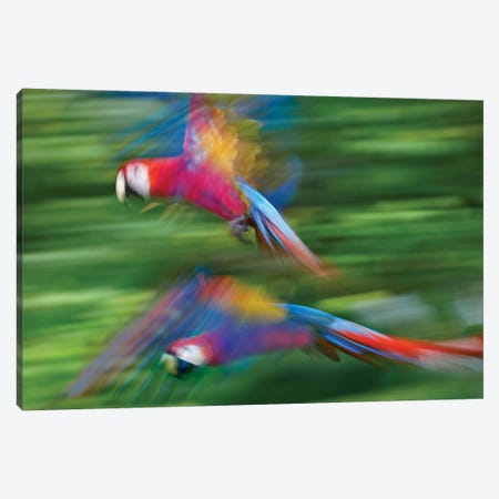 Scarlet Macaw Pair Flying, Costa Rica Canvas Print #TFI977} by Tim Fitzharris Art Print