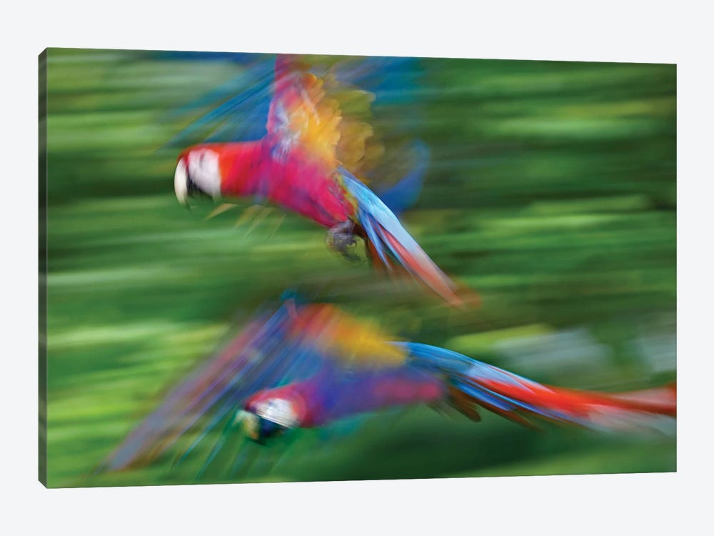 Scarlet Macaw Pair Flying, Costa Rica by Tim Fitzharris 1-piece Canvas Wall Art