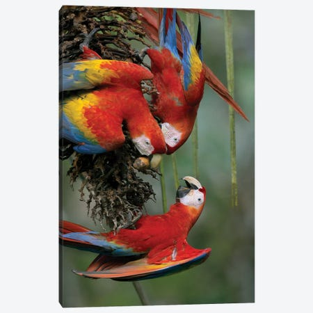 Scarlet Macaw Trio Feeding On Palm Fruits, Costa Rica Canvas Print #TFI978} by Tim Fitzharris Canvas Wall Art