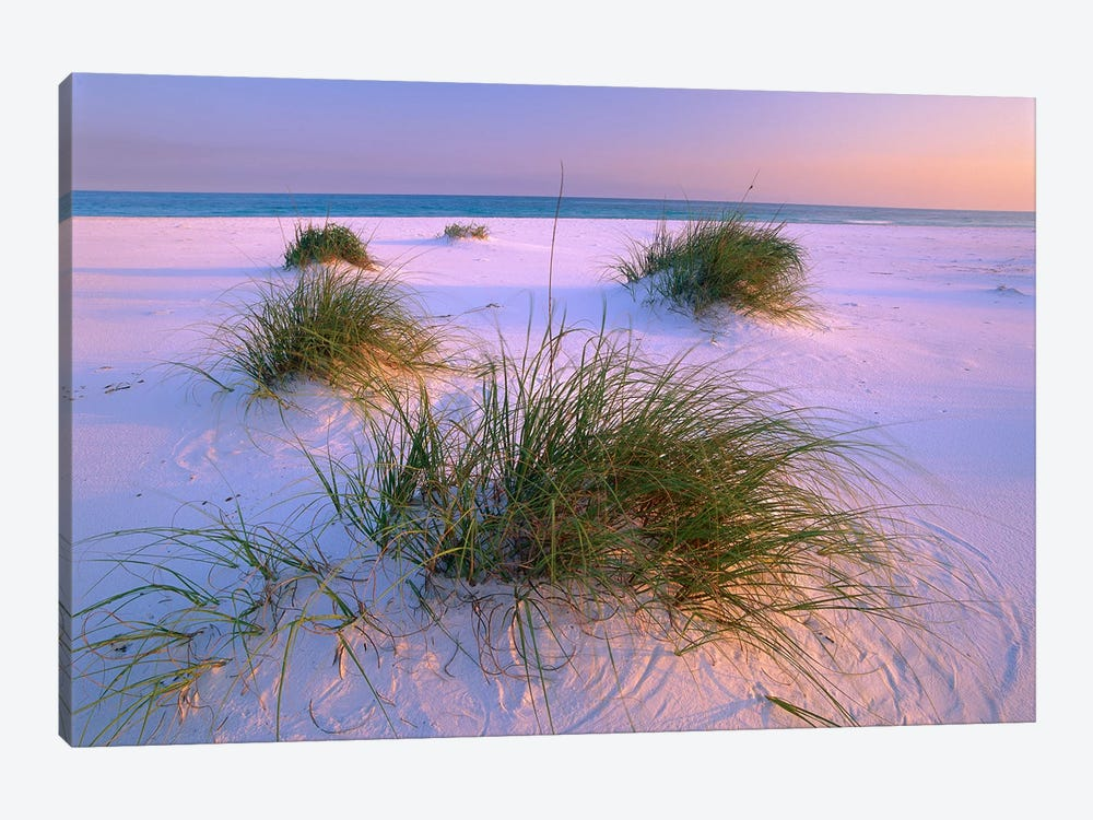 Sea Oats Growing On Beach, Santa Rosa Island, Gulf Islands National Seashore, Florida 1-piece Canvas Art