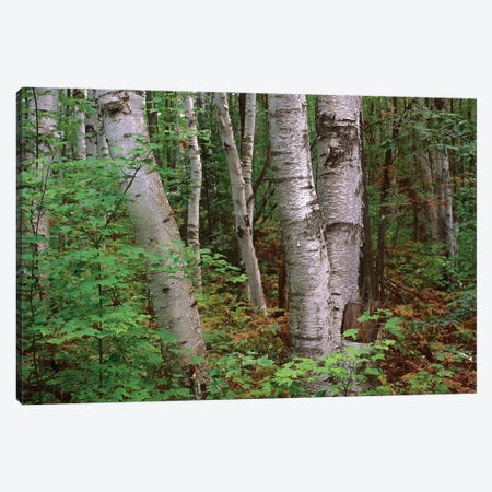 Birch Forest, Pictured Rocks National Lakeshore, Michigan Canvas Print #TFI98} by Tim Fitzharris Art Print