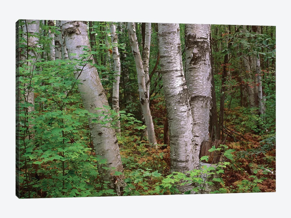 Birch Forest, Pictured Rocks National Lakeshore, Michigan by Tim Fitzharris 1-piece Canvas Print