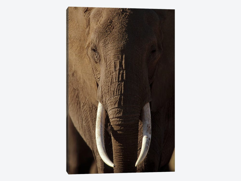 African Elephant Male Portrait With Long Tusks, Kenya by Tim Fitzharris 1-piece Canvas Art Print
