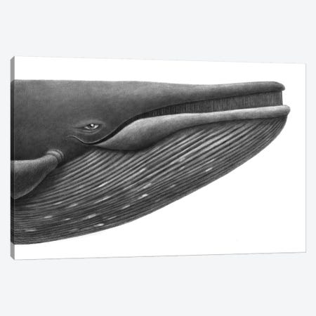 Blue Whale Study Canvas Print #TFN257} by Terry Fan Art Print