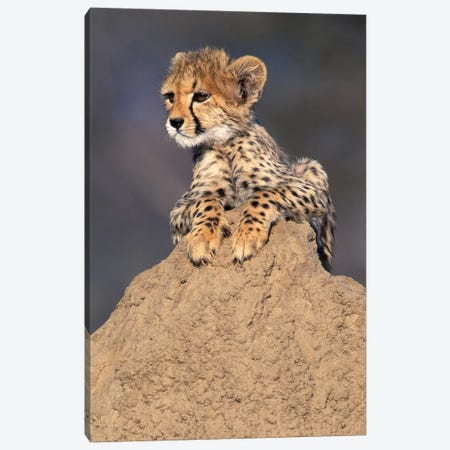 Cheetah Cub On Termite Mound, Africa, Namibia. Animal Rehabilitation Farm. Canvas Print #THO1} by Theo Allofs Canvas Art