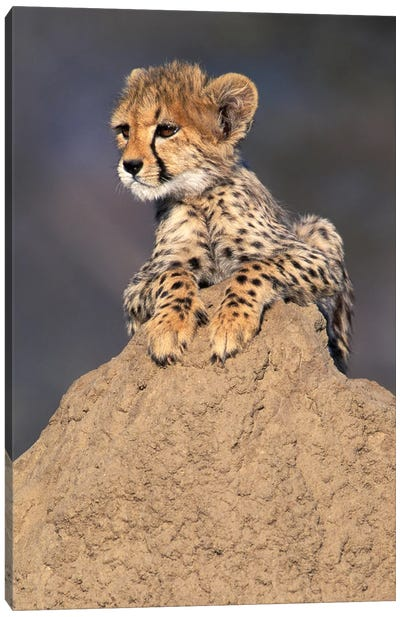 Cheetah Cub On Termite Mound, Africa, Namibia. Animal Rehabilitation Farm. Canvas Art Print