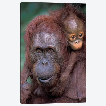 Orangutan Mother With Baby On Her Back, Borneo, Tanjung National Park. Canvas Print #THO2} by Theo Allofs Canvas Wall Art