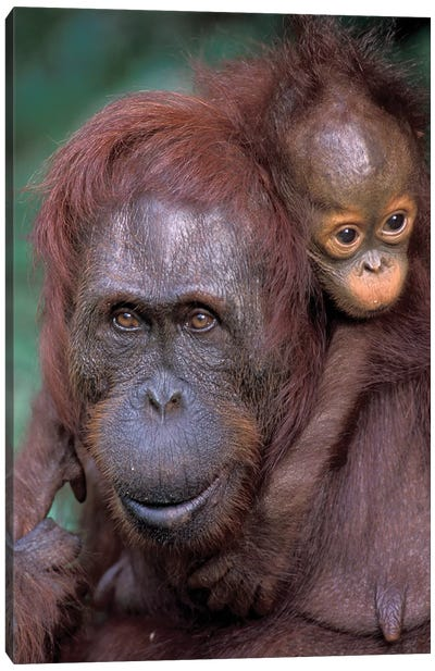 Orangutan Mother With Baby On Her Back, Borneo, Tanjung National Park. Canvas Art Print
