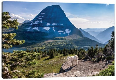 Mountain Goat in front of Bearhat Mountain and Hidden Lake. Glacier National Park, Montana, USA. Canvas Art Print