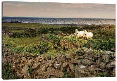 Inishmore Island. Aran Islands. Ireland. Horses Behind Rocky Fences Canvas Art Print