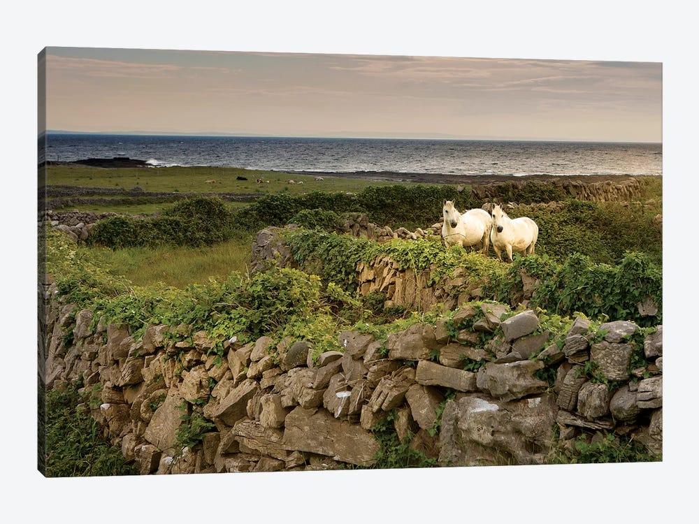 Inishmore Island. Aran Islands. Ireland. Horses Behind Rocky Fences by Tom Norring 1-piece Canvas Print