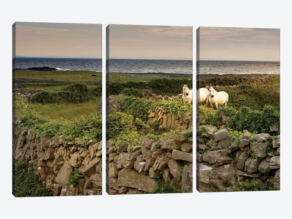 Inishmore Island. Aran Islands. Ireland. Horses Behind Rocky Fences by Tom Norring 3-piece Canvas Print