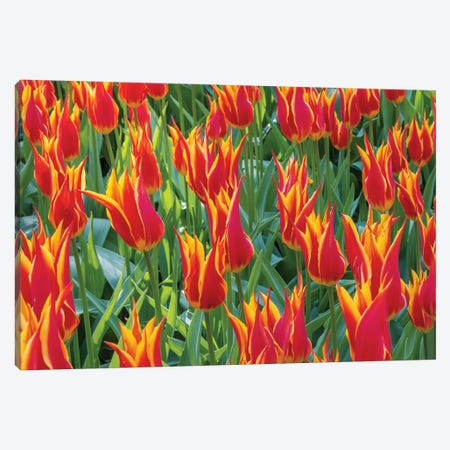 Beautiful tulips, Netherlands. Canvas Print #TNO5} by Tom Norring Canvas Print