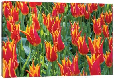 Beautiful tulips, Netherlands. Canvas Art Print