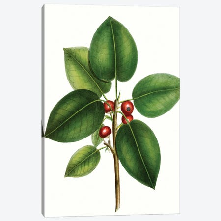 Short Leaved Fig Tree Canvas Print #TNU11} by Thomas Nuttall Canvas Wall Art