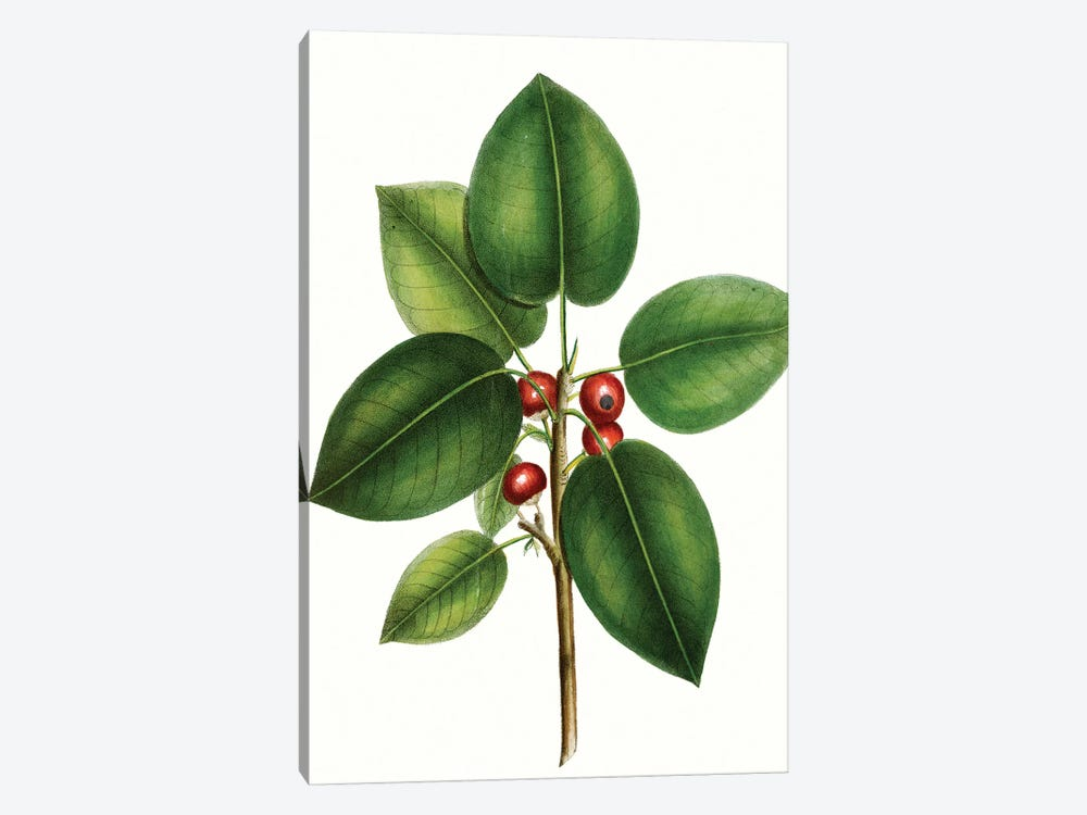 Short Leaved Fig Tree by Thomas Nuttall 1-piece Canvas Artwork