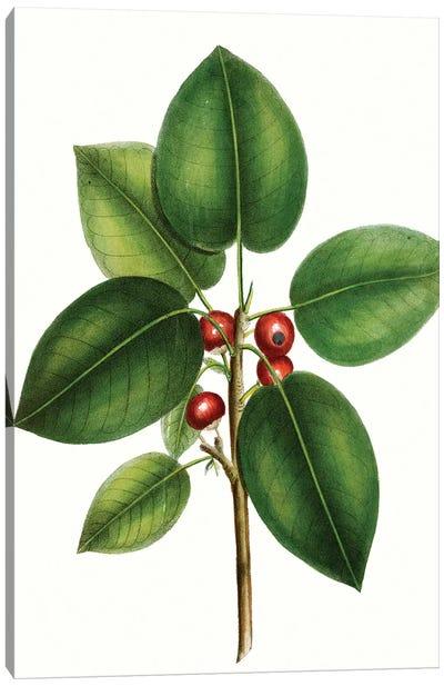 Short Leaved Fig Tree Canvas Art Print