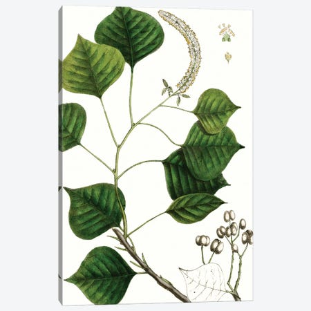 Tallow Tree Canvas Print #TNU12} by Thomas Nuttall Canvas Wall Art