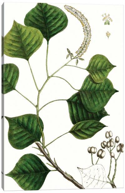 Tallow Tree Canvas Art Print