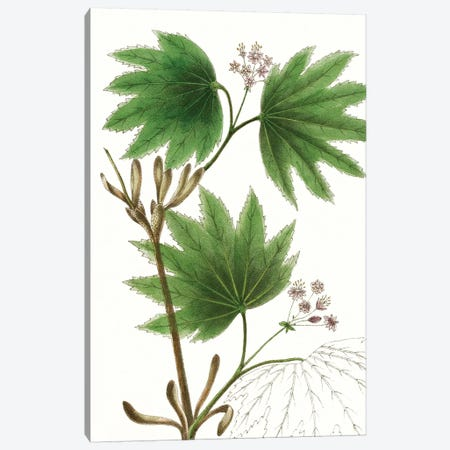 Broad Leafed Maple Canvas Print #TNU1} by Thomas Nuttall Canvas Art Print