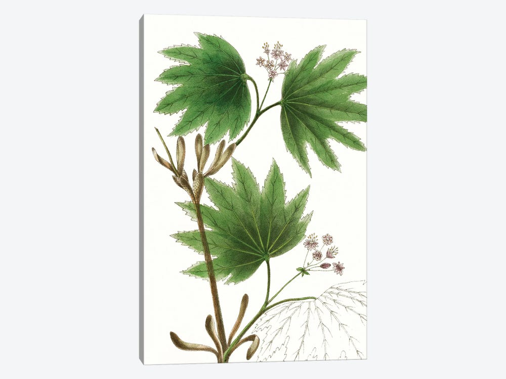 Broad Leafed Maple by Thomas Nuttall 1-piece Canvas Wall Art