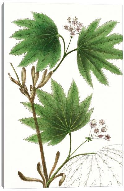 Broad Leafed Maple Canvas Art Print