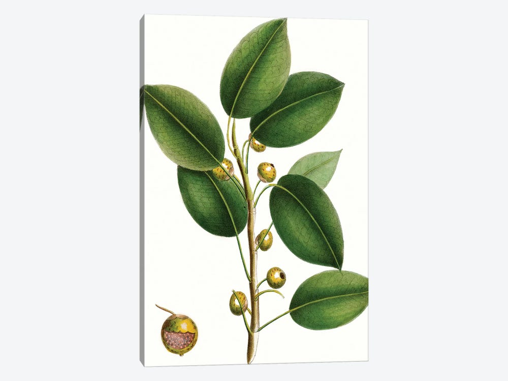 Cherry Fig Tree by Thomas Nuttall 1-piece Canvas Wall Art