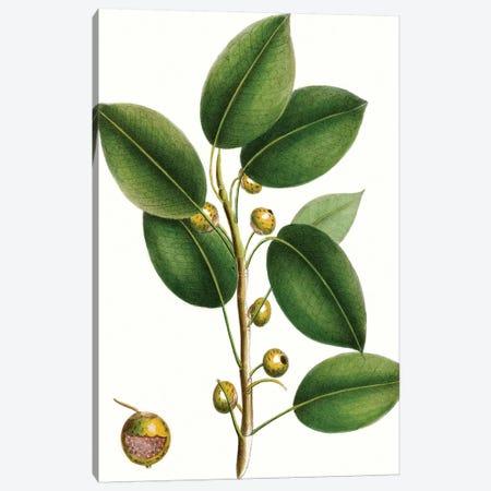 Cherry Fig Tree Canvas Print #TNU3} by Thomas Nuttall Canvas Print